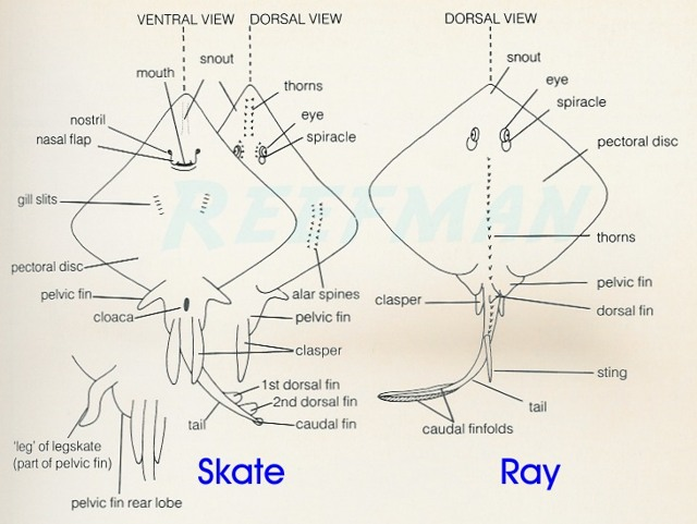 Rays And Skates Id